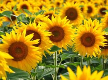 sunflower_shutterstock_271249412